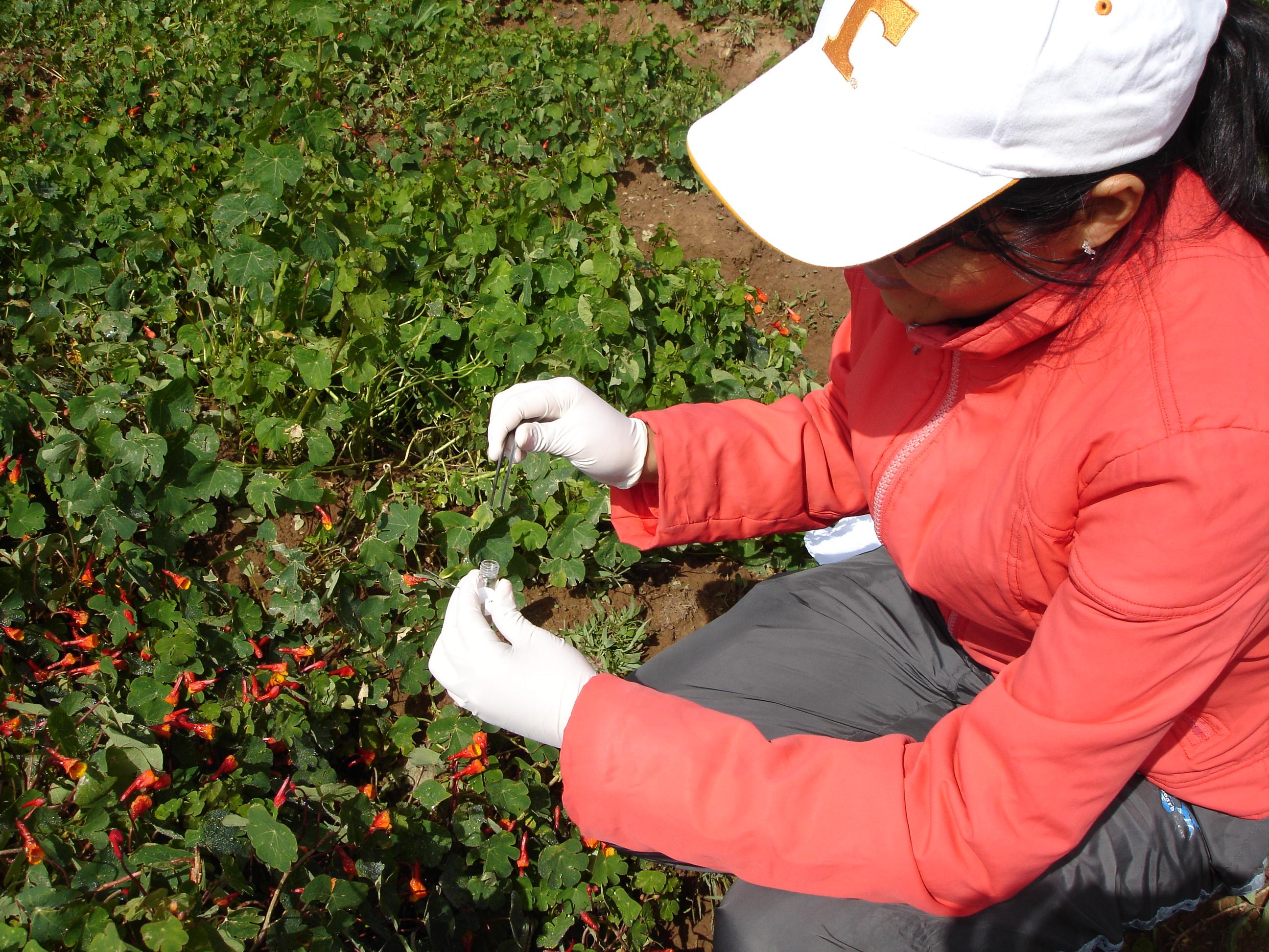 En pleno trabajo de campo con una planta de mashua. Foto: Archivo personal.