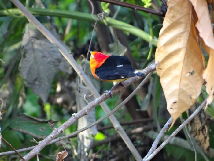La Asociación Boliviana de Ornitología ha creado cuatro clubes en el país para impulsar el interés por las aves. Foto: Vincent Vos.