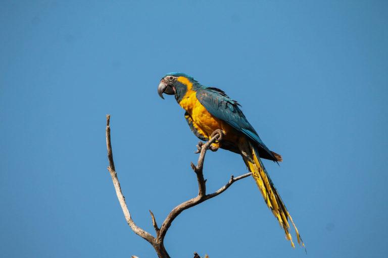 La paraba barba azul, una de las especies endémicas de Bolivia que se espera figuren en la lista del GBD. Foto: Asociación Armonía.