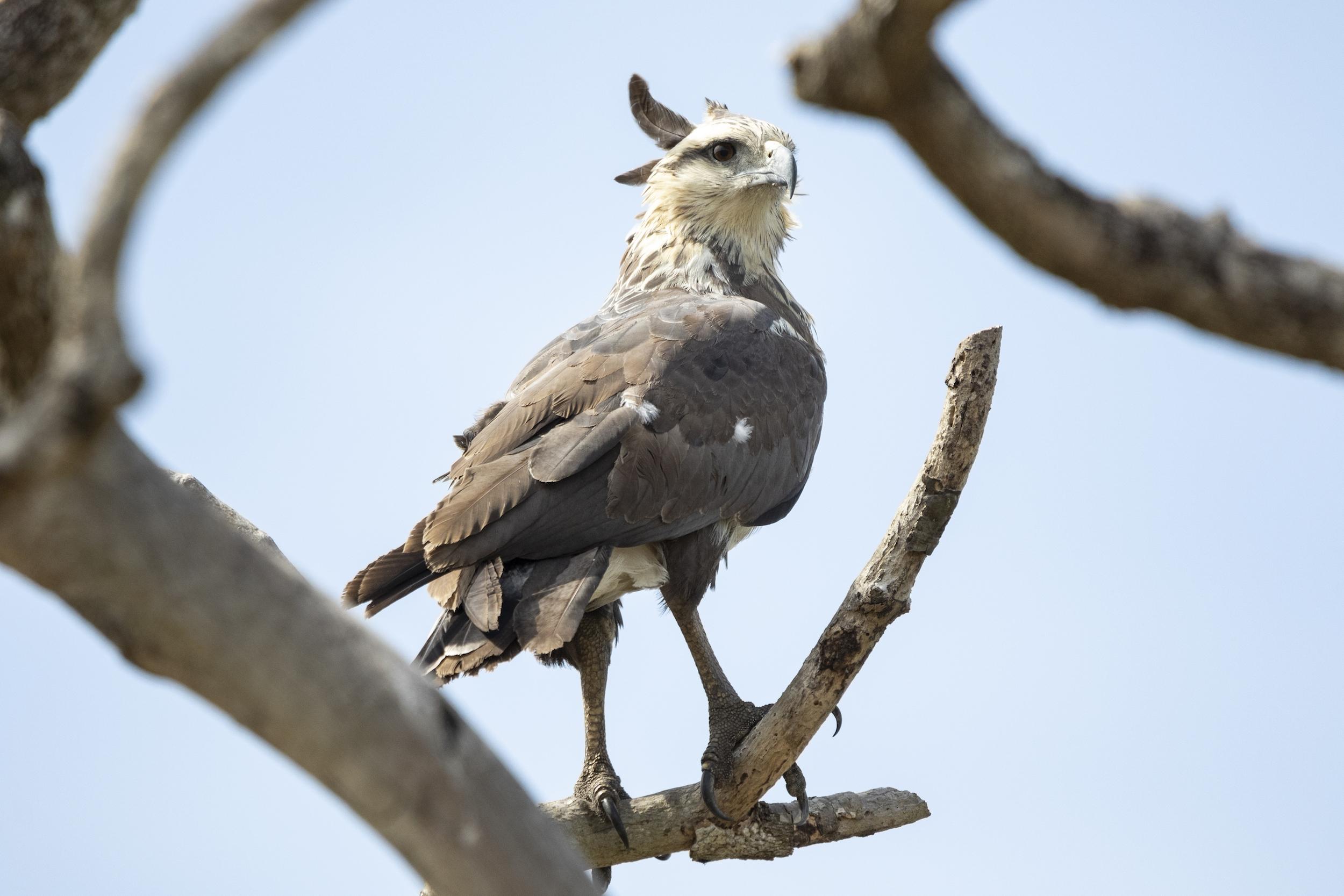 El águila coronada, una especie en peligro de extinción en Bolivia. Foto: Fundación Conservación Loros de Bolivia.