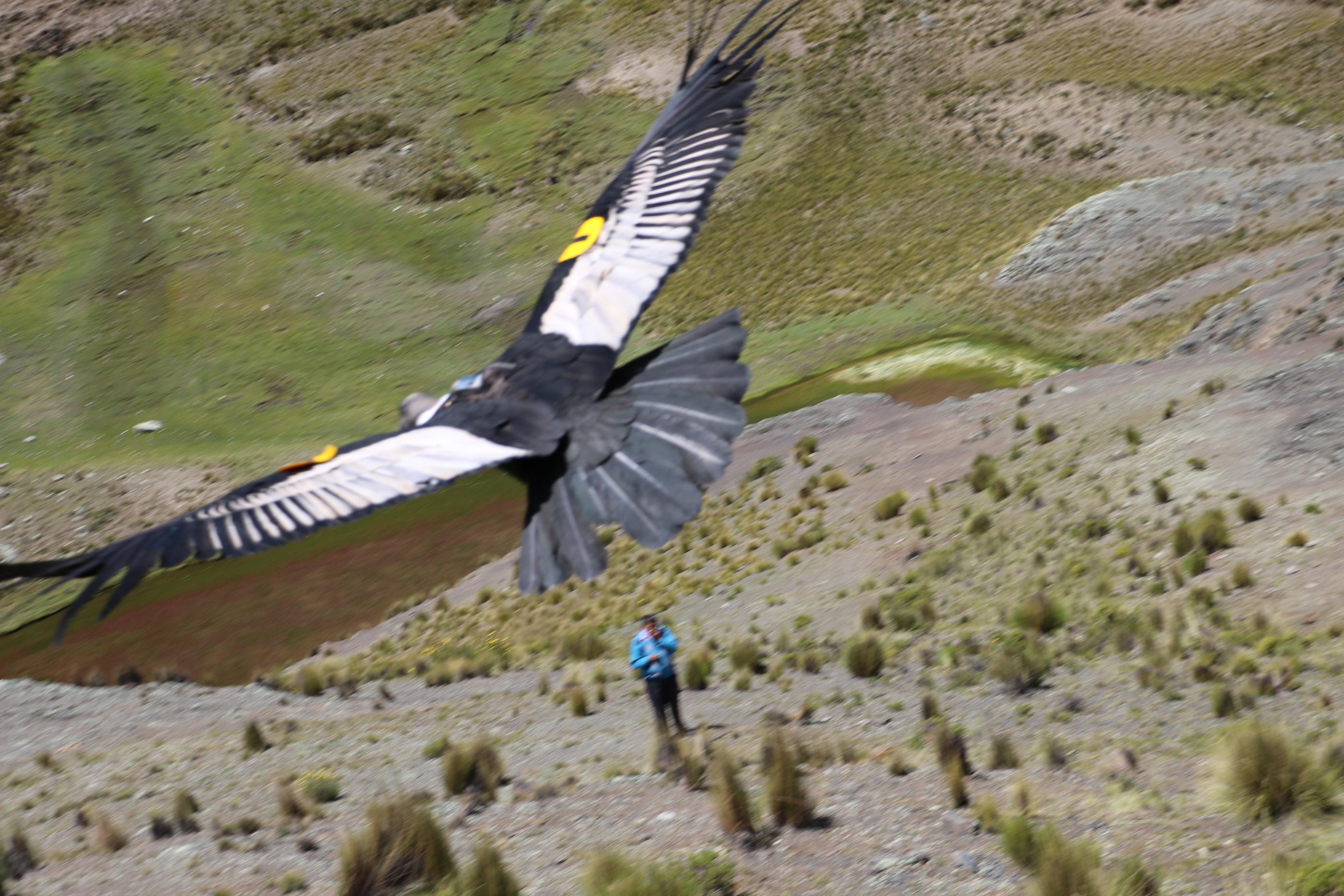 El 8 de marzo, Palca alzó vuelo en los Andes de Bolivia. Foto: Isabel Gómez.