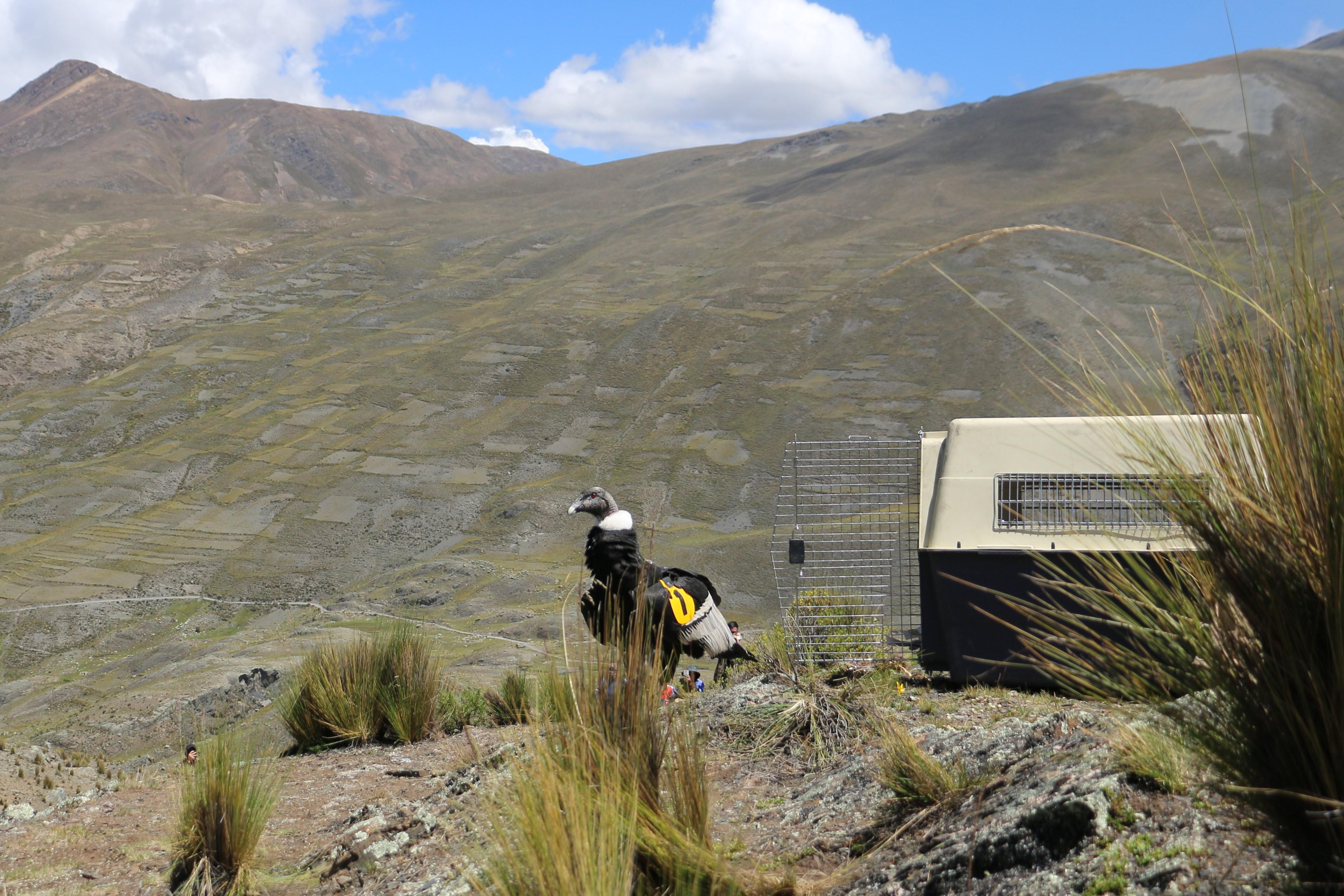 Luego de permaneces unos minutos observando el paisaje, la cóndor Palca se lanzó a volar. Foto: Isabel Gómez.