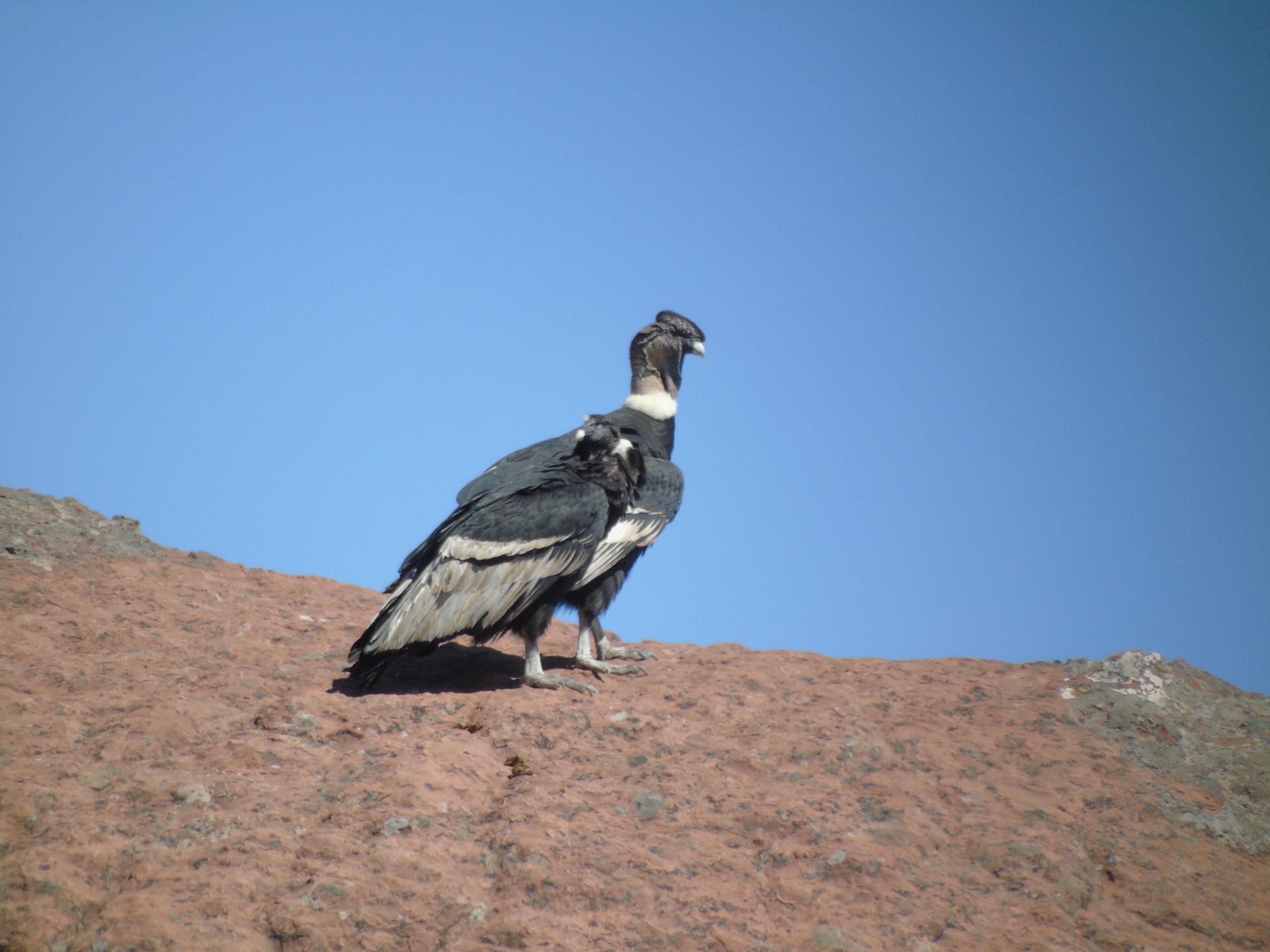 El cóndor es un ave emblemática en Bolivia considerado en la ritualidad andina. Foto: Diego Méndez.