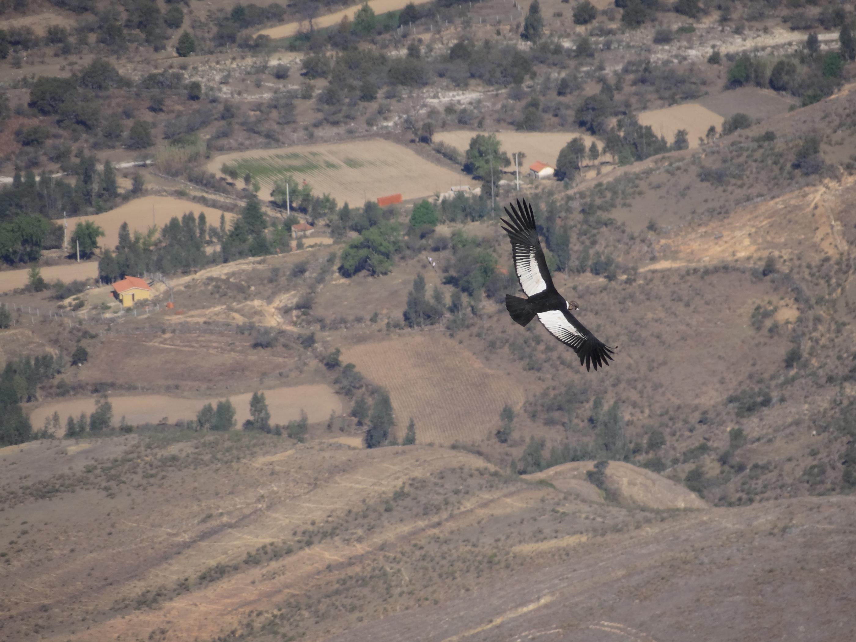 Se calcula en 1300 la cantidad de cóndores que habitan en Bolivia. Foto: Diego Méndez.