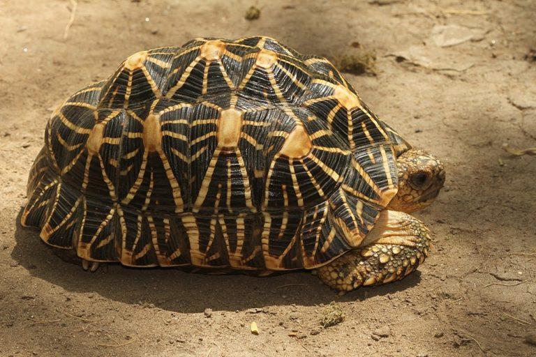 Tortuga estrellada de la India. Imagen de Davidvraju a través de Wikimedia Commons (CC BY-SA 4.0)