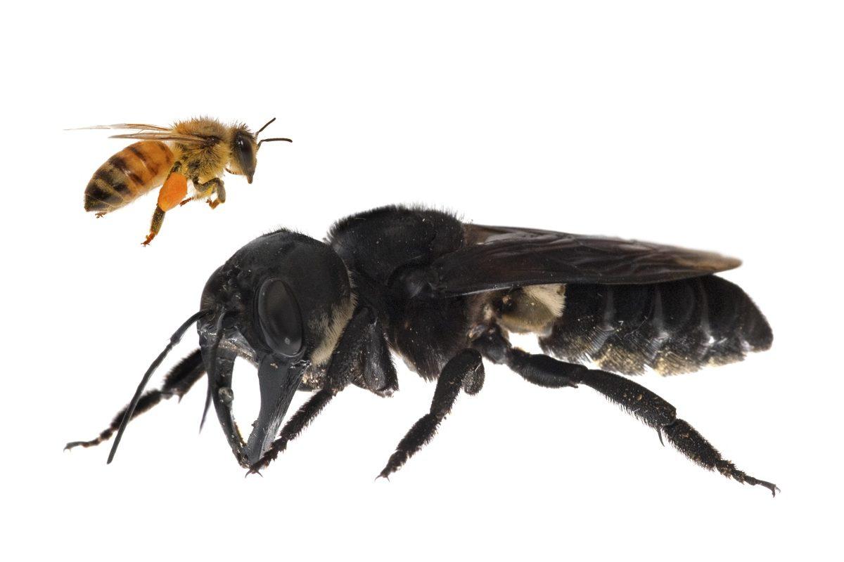 Riesgos de la abeja negra