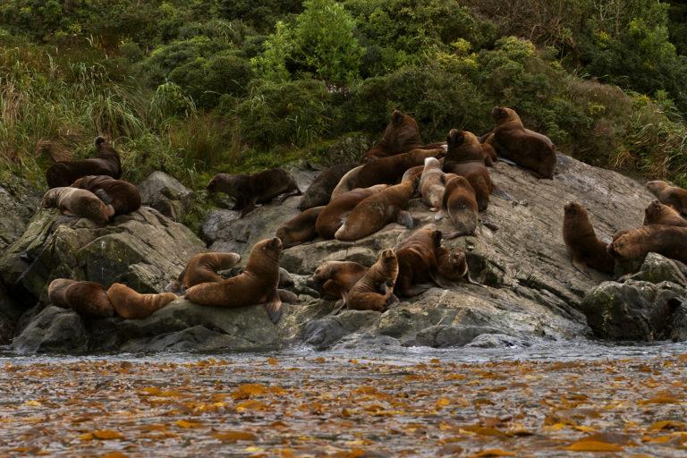 Lobos marinos en el Parque Marino Francisco Coloane. Foto: Patagonia Photosafaris
