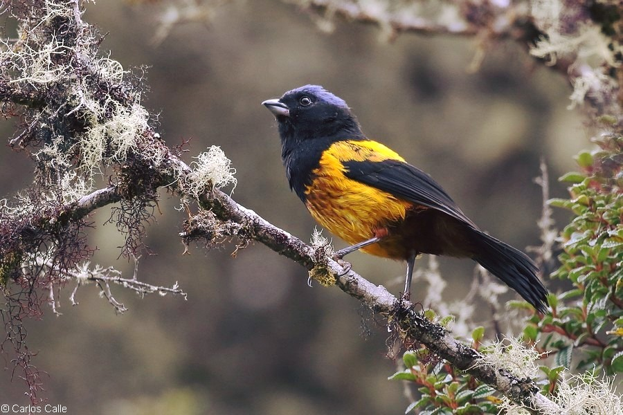 Perú logró registrar 1516 especies y quedó en el segundo lugar de la competencia mundial. Foto: Rosmery Alcarraz / Aves del Perú.