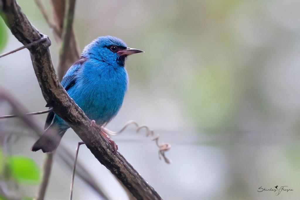 Dacnis Azul (Dacnis cayana) una especie registrada en Aguas Calientes, Cusco, Perú. Foto: Shirley Freyre Mauny / Aves-del-Perú.