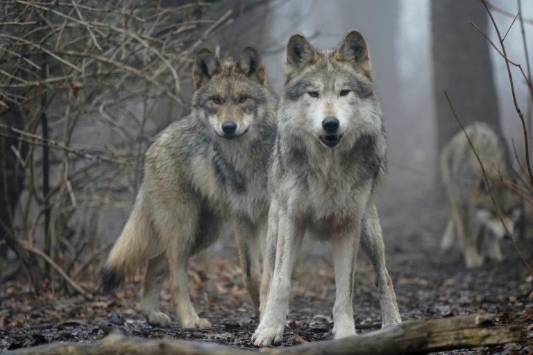 El lobo gris mexicano, en peligro de extinción, comenzó a resurgir en el norte del país y científicos creen que puede ayudar a recuperar ecosistemas. Foto: Wolf Conservation Center