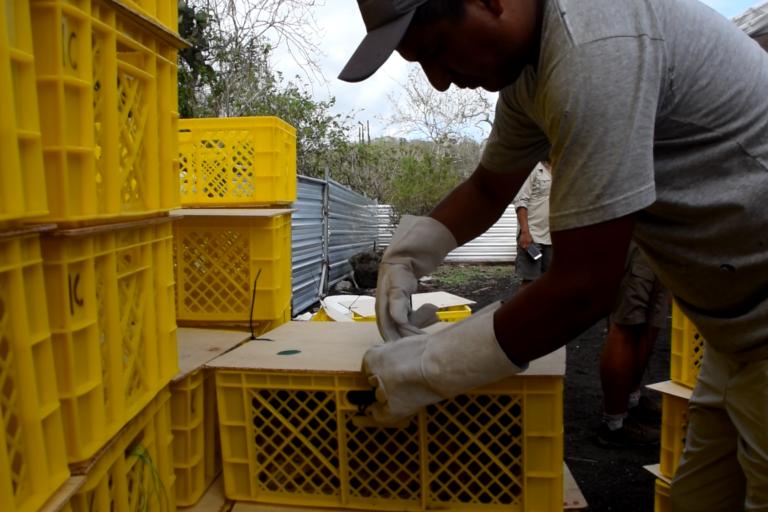 Nunca antes se había hecho una reintroducción tan grande de iguanas terrestres. Foto: Parque Nacional Galápagos.