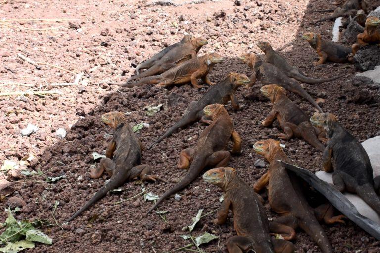 Mientras que en Seymour Norte hay sobrepoblación de iguanas, en Santiago no se registraban desde hace casi dos siglos. Foto: Parque Nacional Galápagos.
