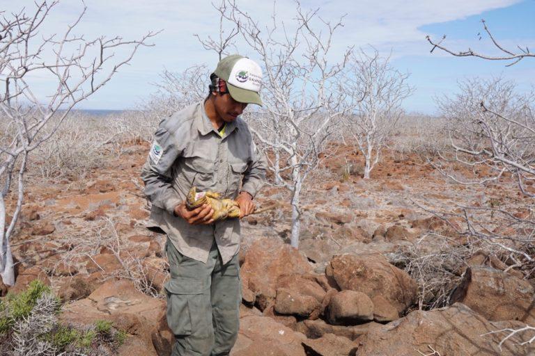 Las iguanas terrestres de Galápagos están sobrepoblando la isla Seymour Norte. Foto: Parque Nacional Galápagos.