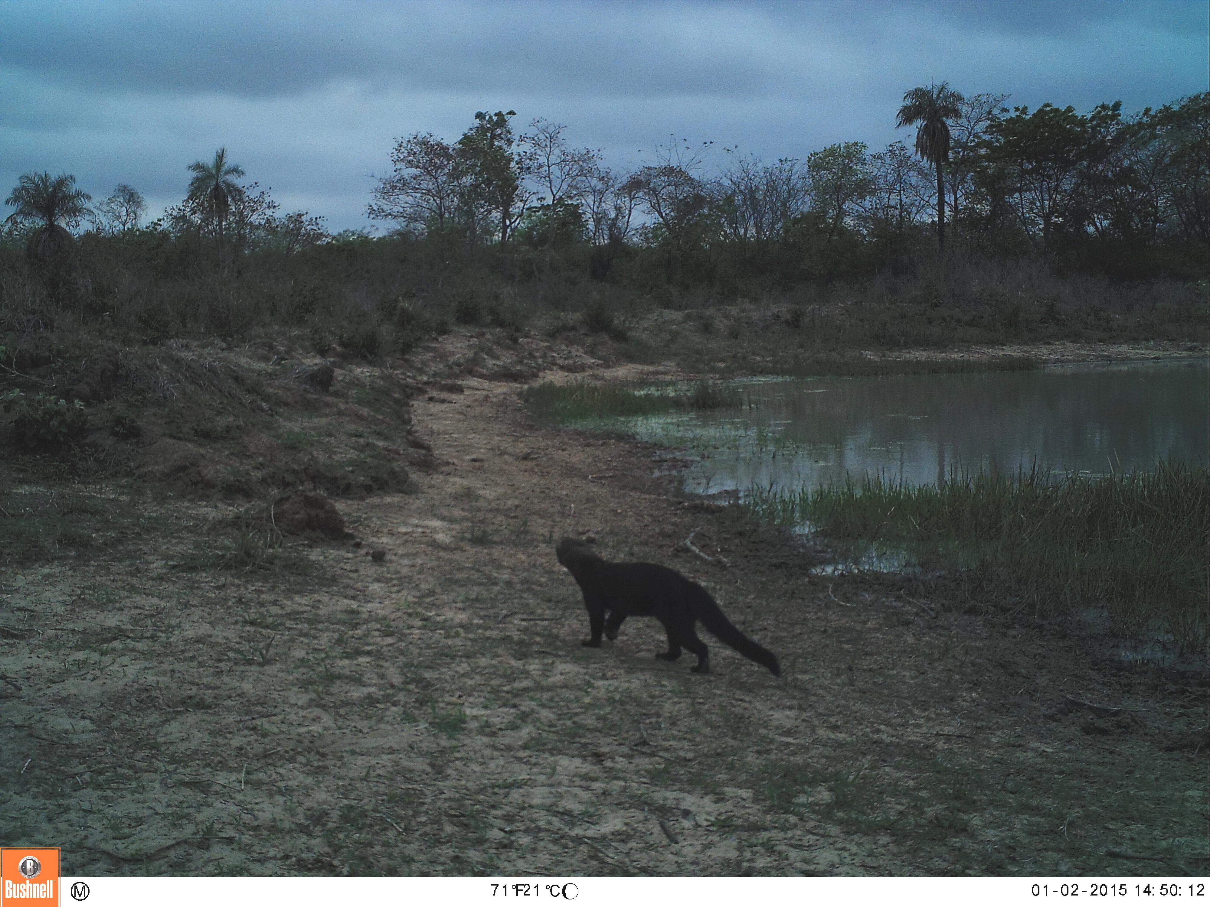Un monitoreo con cámaras trampa permitió contar con un primer listado de especies de fauna. Foto: Nativa.