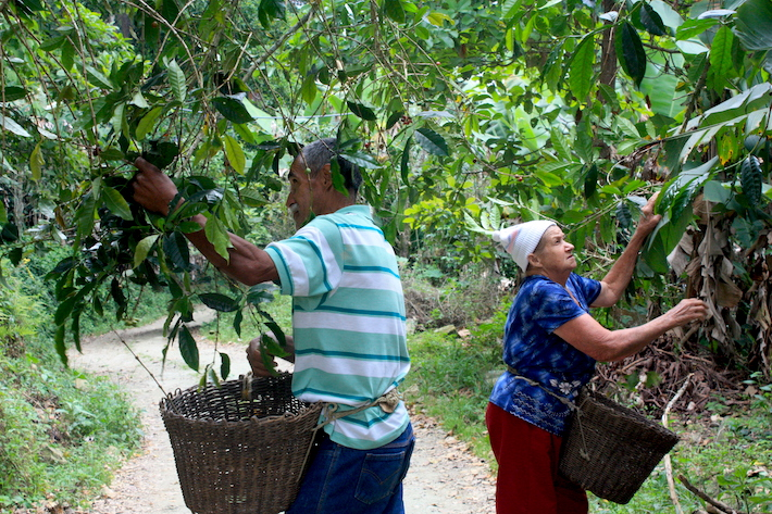 Comunidades recuperan sus cultivos de café bajo sombra con el programa de conservación de aves migratorias y endémicas. Foto: Provita.