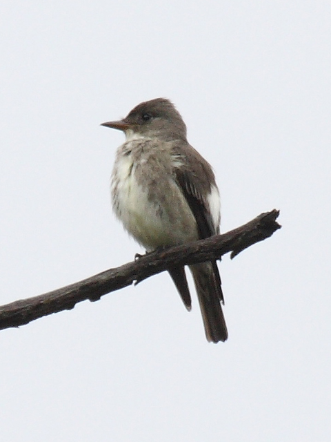 Pibí boreal (Contopus cooperi). Foto: Dominic Speroni - Wikipedia.
