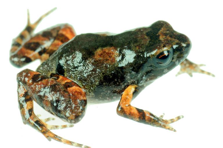 La ranita hallada en la Cordillera Carabaya mide solo 11 milímetros. Foto: Alessandro Catenazzi.