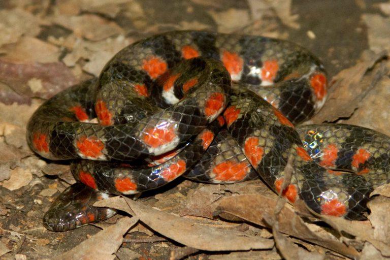 La serpiente Hydrops triangularis fue hallada en las Pampas de Heath, en el Parque Nacional Bahuaja Sonene. Foto: Roy Santa Cruz.