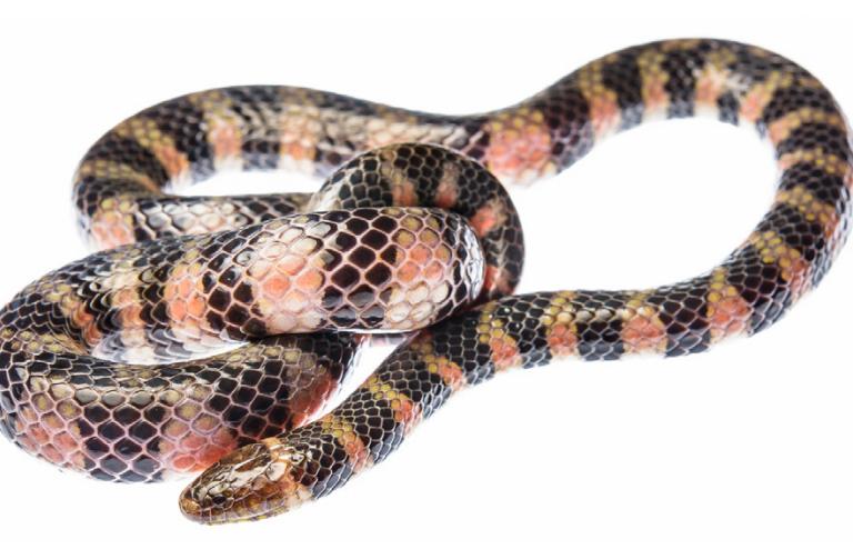 La serpiente Hydrops triangularis habita en 12 países de Sudamérica y El Caribe. Foto: Emanuele Biggi.