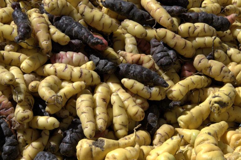 La ubia u oca figura entre los tubérculos andinos subutilizados. Foto: Wikipedia.
