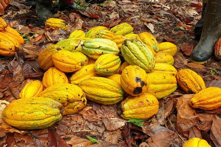 El pueblo Waorani ha creado su propia marca de chocolate denominada WAO. Foto: Fundación EcoCiencia.