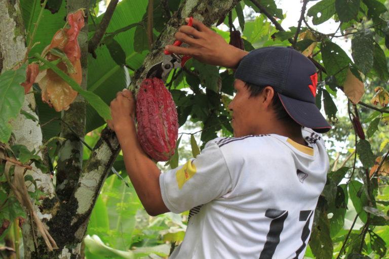 El pueblo Waorani ha implementado un proyecto de manejo sostenible de cultivo de cacao endémico. Fundación EcoCiencia.