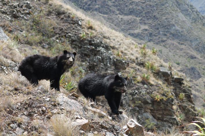 Los osos de anteojos tienen una distribución amplia en el Perú. Foto: Sernanp.