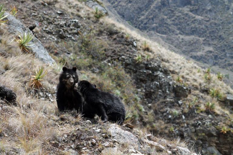 Aún está pendiente conocer la población de osos de anteojos en el Perú. Foto: Sernanp.