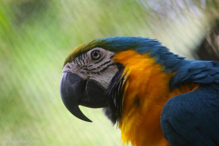 Guacamayo azulamarillo (Ara ararauna). Foto: Rhett A. Butler / Mongabay
