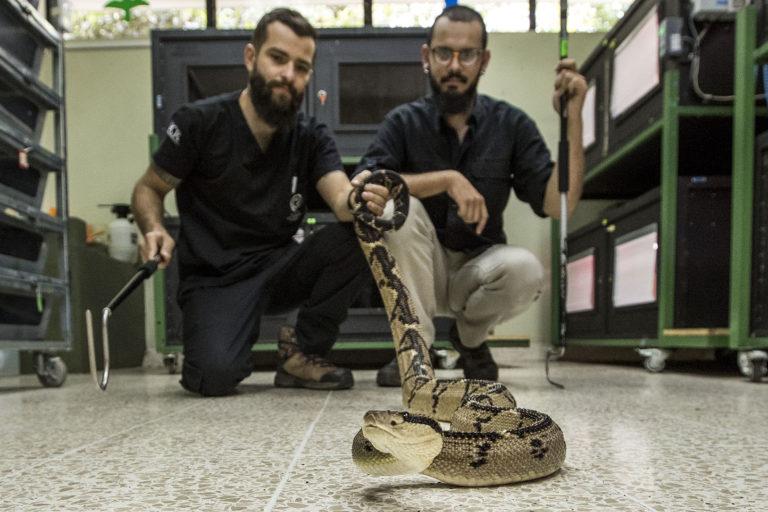 El Instituto Clodomiro Picado busca conocer más sobre la biología e historia natural de esta especie amenazada. Foto: Alonso Tenorio / Imágenes en Costa Rica.