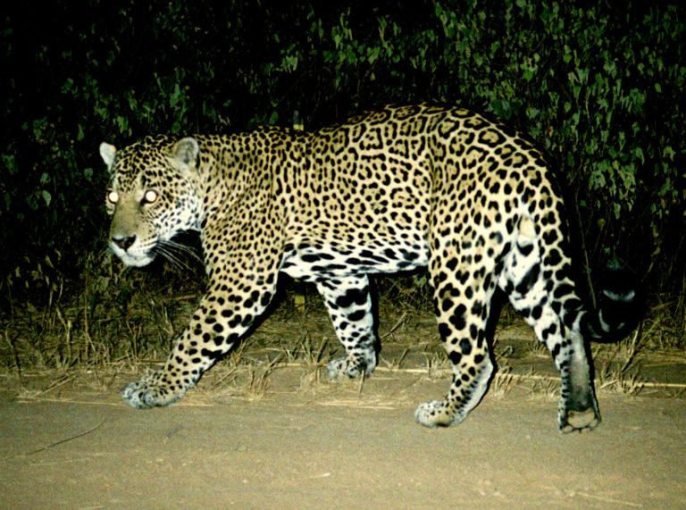 Yaguareté o jaguar en el Gran Chaco. (Foto: Mongabay)
