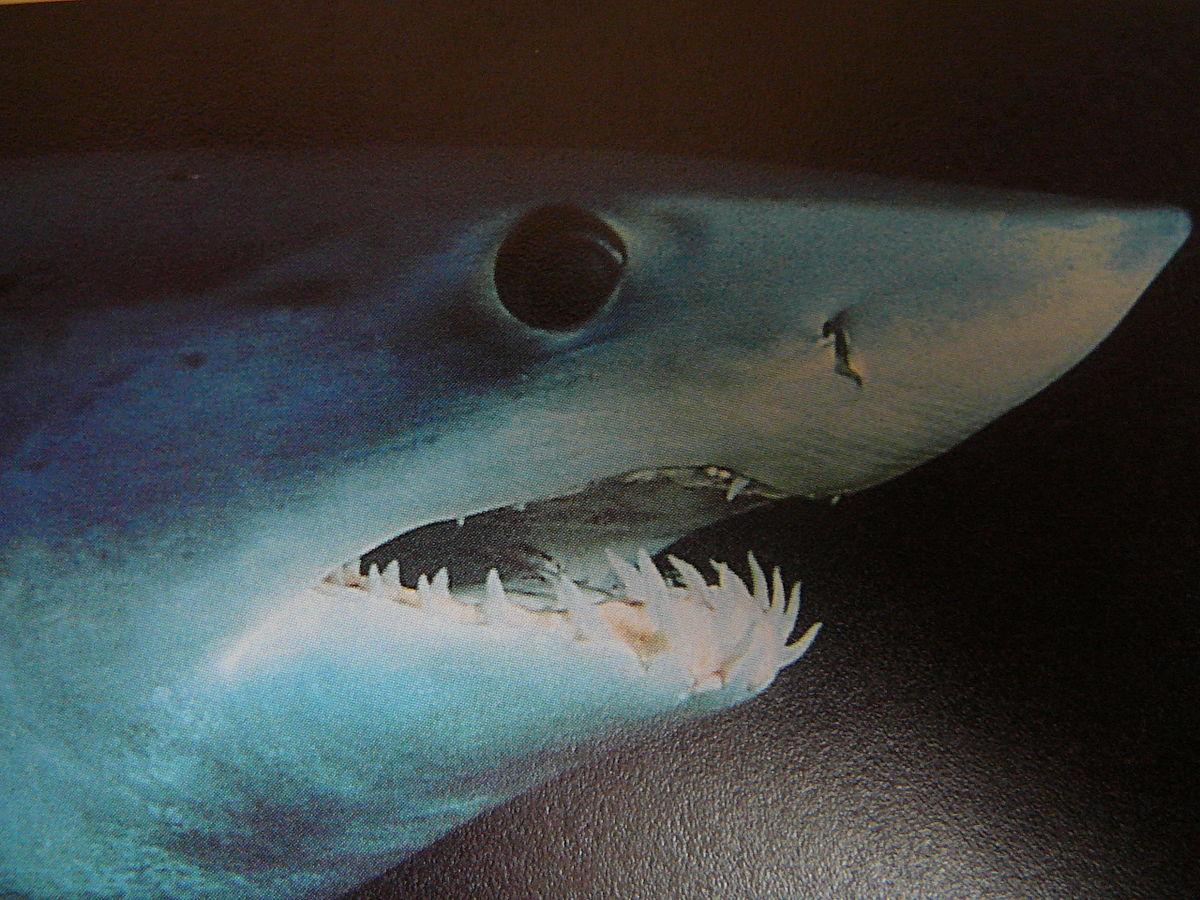 Acercamiento al rostro del tiburón mako de aleta corta. Foto: Spotty11222 / Wikimedia Commons