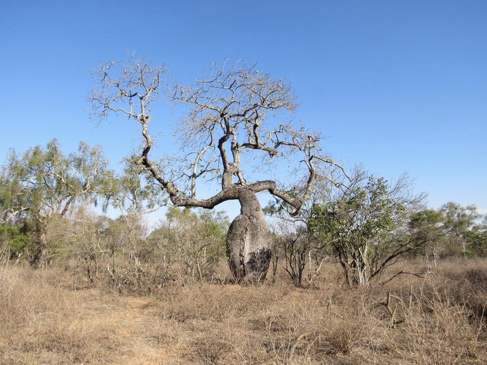 El Chaco boliviano es el hábitat del guanaco. Foto: Fundación Natura Bolivia.