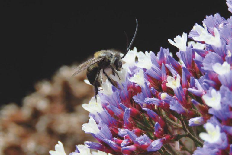 Además de las abejas; las moscas, polillas, mariposas y escarabajos también son insectos polinizadores. Foto: Cortesía CAR.