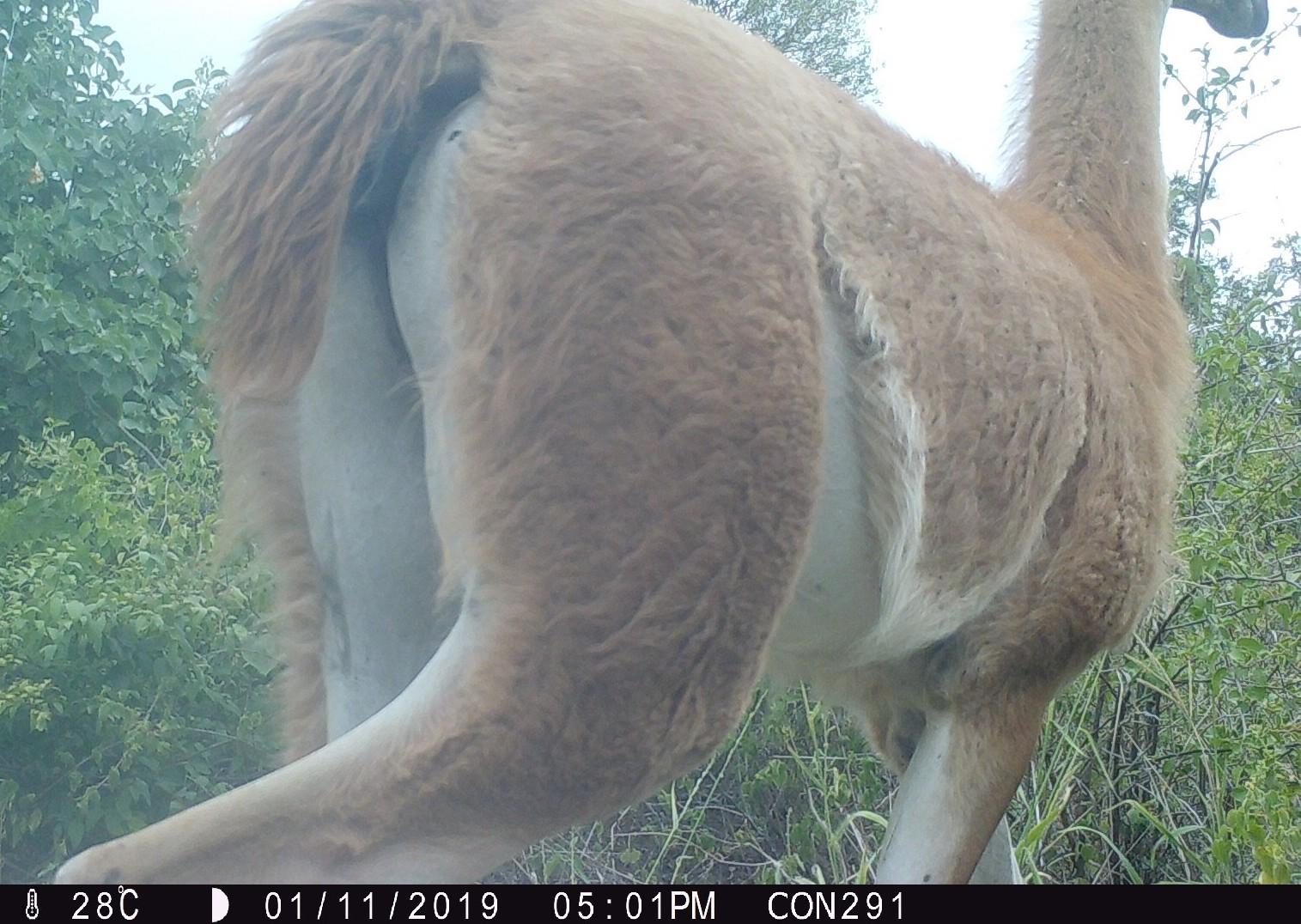 La primera imagen de un guanaco captada con una cámara trampa en el Chaco paraguayo: Foto: Guyra Paraguay.