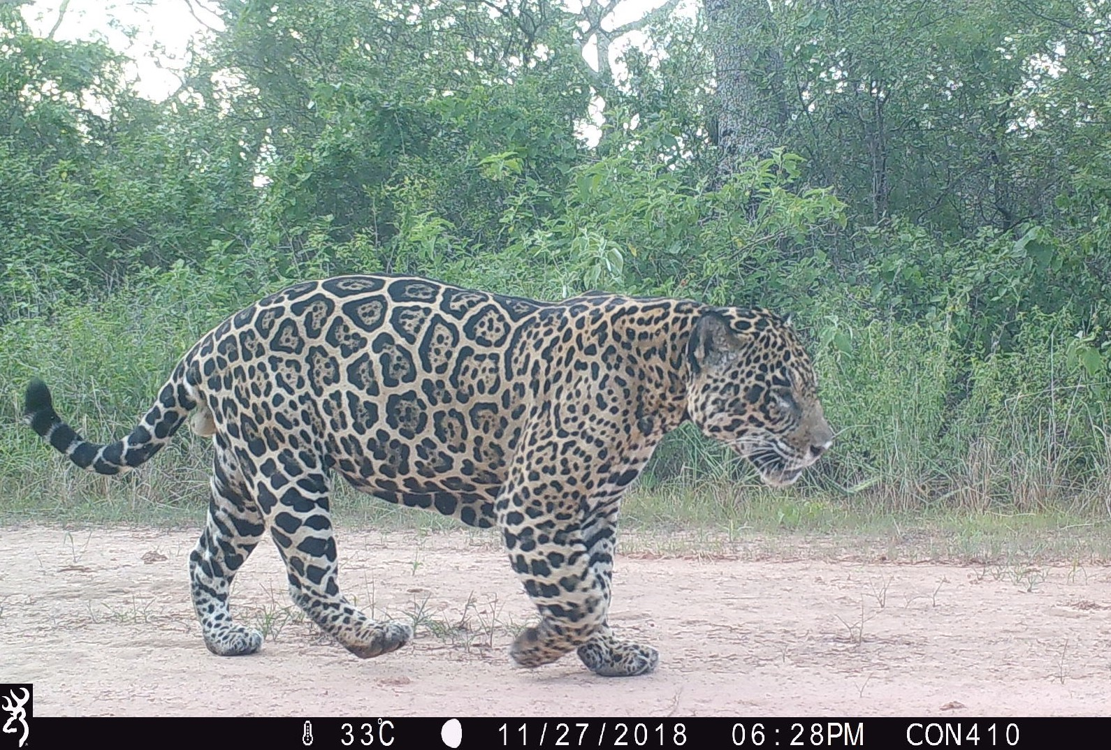 Un jaguar captado con las cámaras trampa colocadas en la frontera entre Bolivia y Paraguay. Foto: Guyra Paraguay.