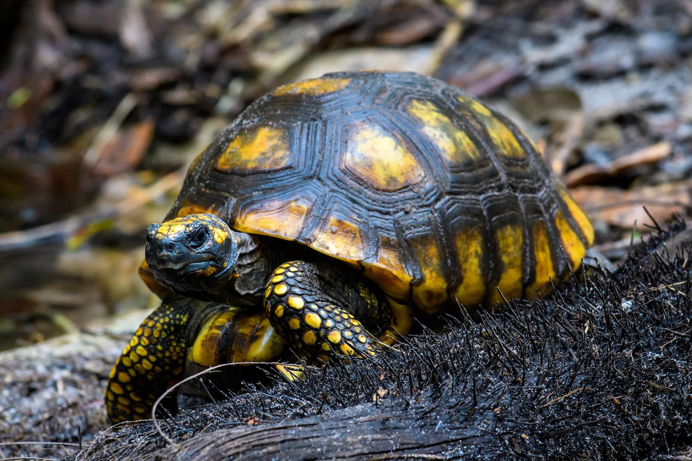 La tortuga terrestre de patas amarillas (Chelonoidis denticulata) es una especie que habita en la Reserva Nacional Pacaya Samiria. Foto: Hugh M. Smith.