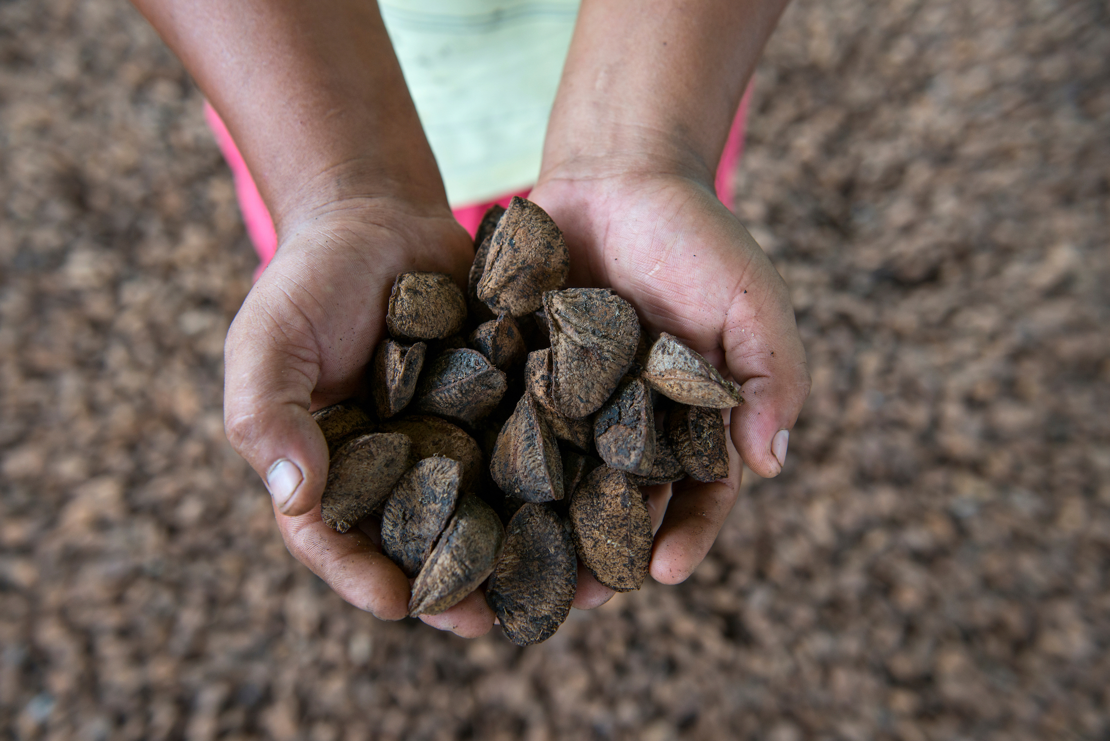 El manejo de la castaña es una de las actividades productivas de la Amazonía. Foto: Nicolás Villaume / WWF US.