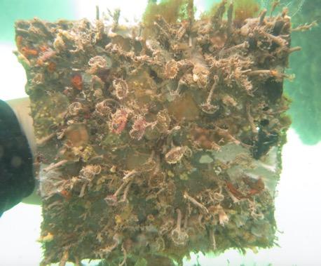 Gusanos tubulares (con coronas circulares que se alimentan por filtración), hidroides, esponjas, briozoos, chorros de mar y otras especies (una mezcla probable de especies nativas e introducidas) en la comunidad de bioincrustaciones marinas de Galápagos.