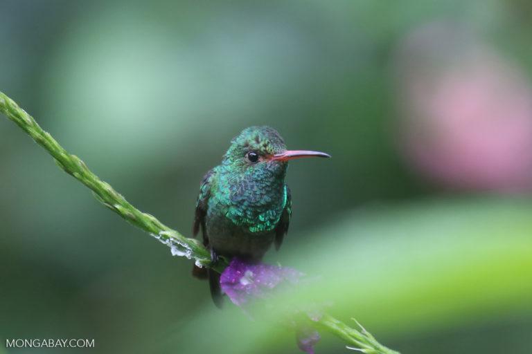Colibrí en Costa Rica. Foto: Rhett A. Butler / Mongabay
