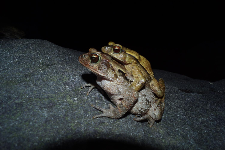 Los machos se montan en las hembras, que siempre son más grandes, y las abrazan para iniciar la reproducción, en términos científicos amplexan. Foto: Alfredo Hernández.