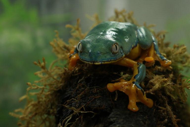 Una de las ranas que habitan en La Balsa de los Sapos. Foto: Isabela Ponce.