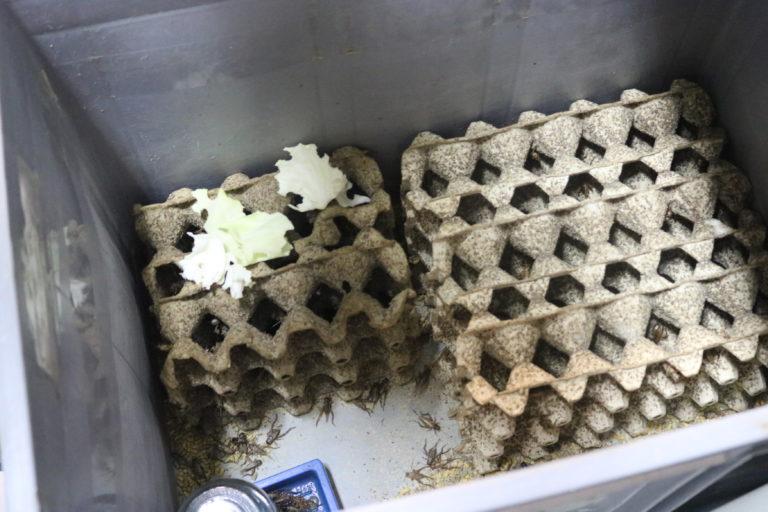 Los grillos son la principal fuente de alimentación de las ranas en el laboratorio. Foto: Isabela Ponce.