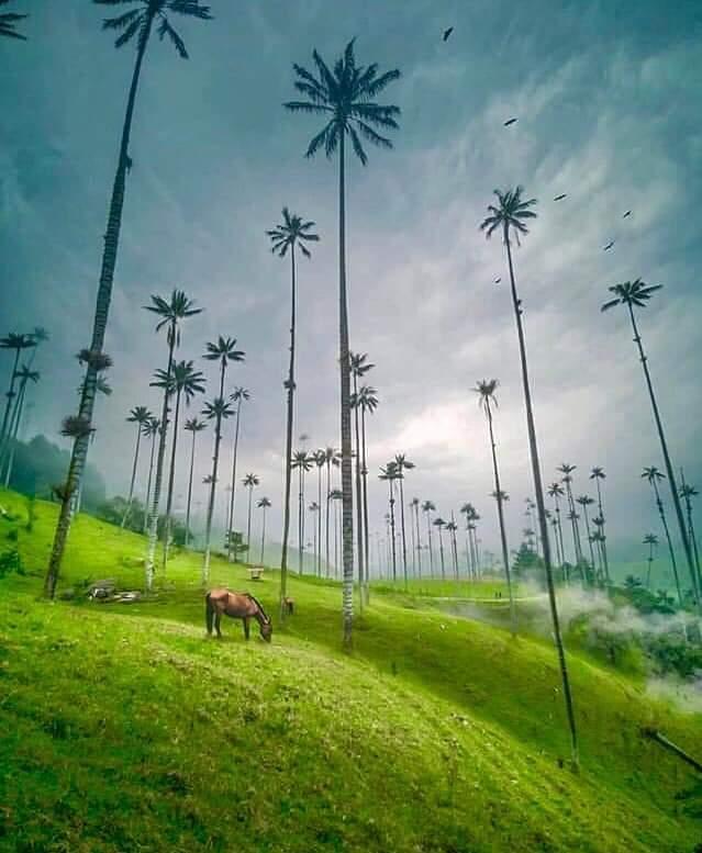 Palma de cera en el Valle de Cocora, Salento, Quindío. Foto: Andrea Correa.