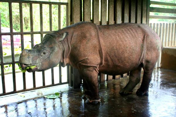Según la Unión Internacional por la COnservación de la Naturaleza (UICN), existen menos de 300 rinocerontes de Sumatra en el Sudeste asiático. Foto: Jeremy Hance y Tiffany Roufs