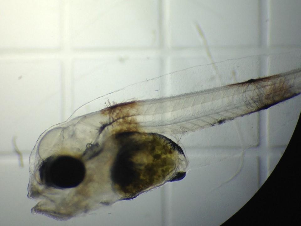 Larva de totoaba: Foto: Cremes.