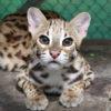 Un joven leopardo (Panthera pardus) rescatado en Cambodia. Foto: Rhett A. Butler / Mongabay