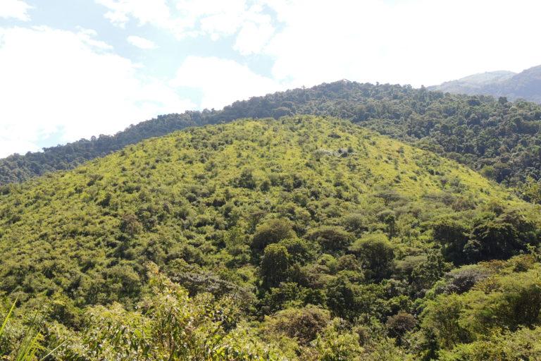 Área en proceso de restauración. Más de 200 000 árboles se han sembrado en la Reserva Jorupe, como parte de su programa de restauración de los bosques secos del sur del Ecuador. Foto: Fundación Jocotoco.