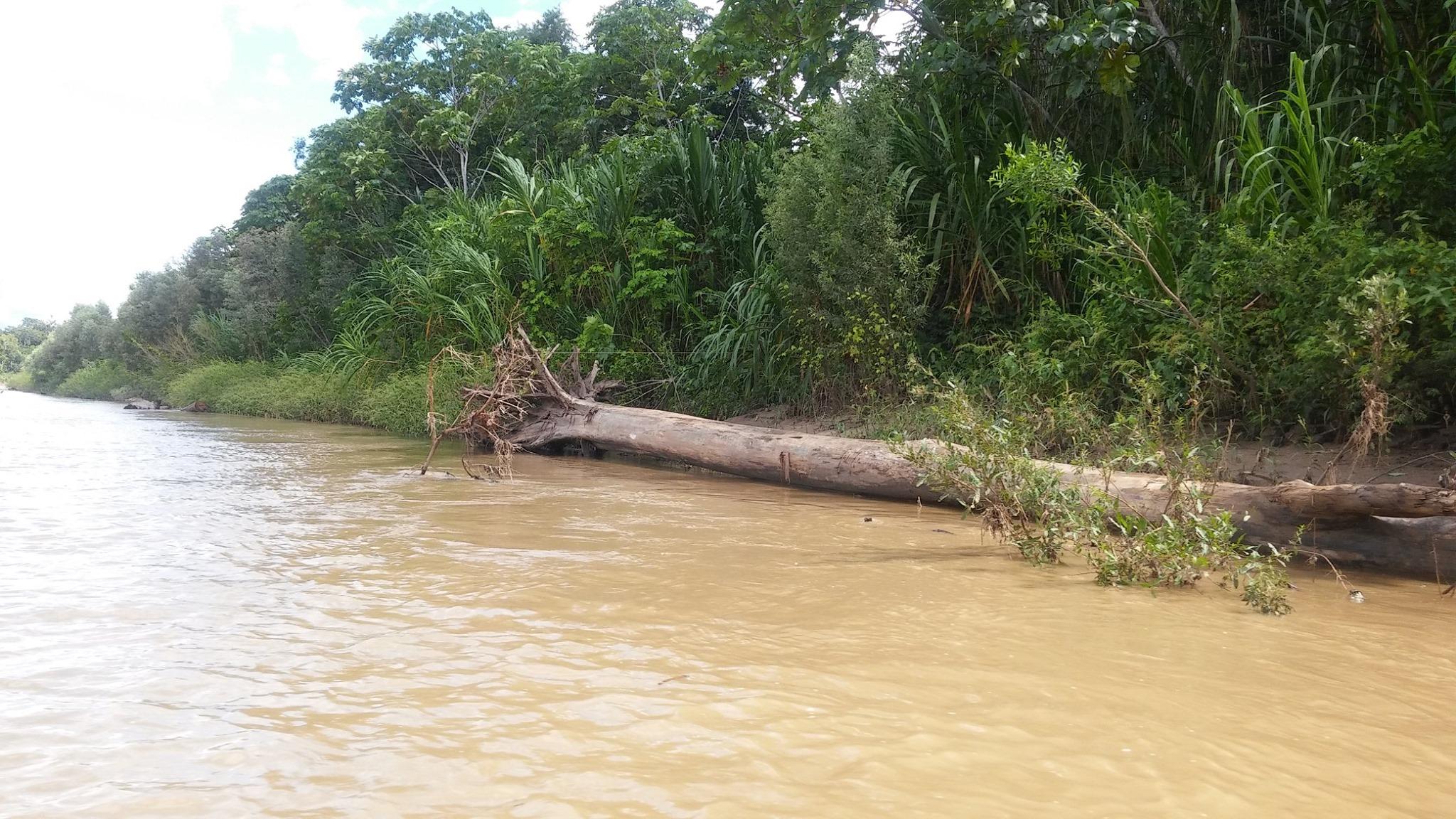 Los árboles en el Parque Nacional del Manu caen por efecto de las tormentas. Foto: Manu 3.