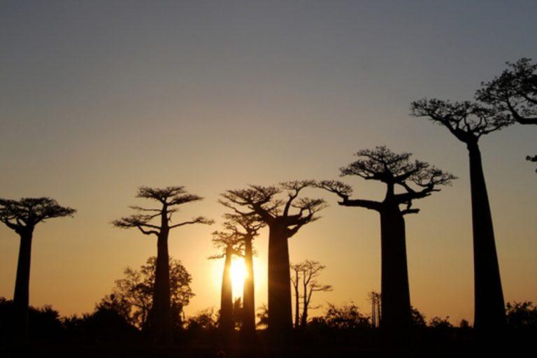 El callejón de los baobabs en Morondava, Madagascar. Crédito: WWF / Martina Lippuner